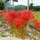 20120900-higanbana-144jpgcutw750