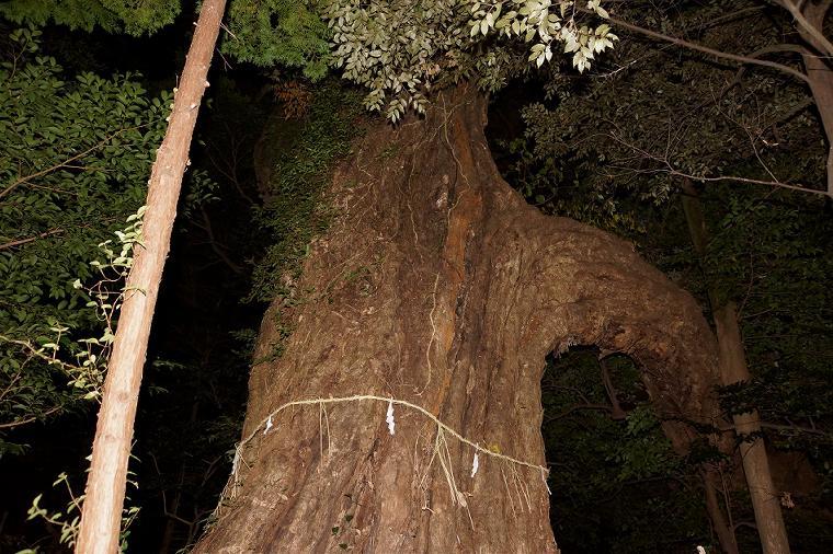 宇美八幡宮 境内には市保存樹のイチイカシの木